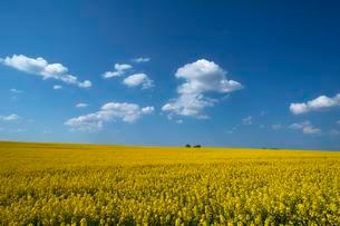 Blooming rapeseed field (Brassica napus), blue cloudy skyの写真素材 [FYI02341935]