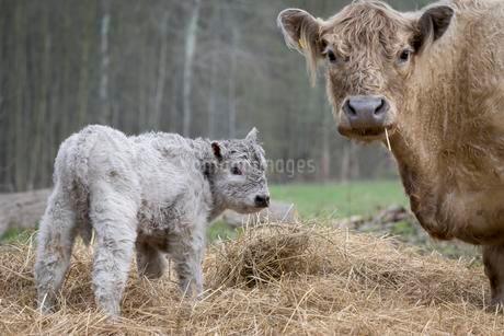 Galloway cattle (Bos primigenius taurus) with blondの写真素材 [FYI02341953]