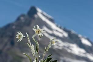 Edelweiss (Leontopodium alpinum Cass.), Valley Val deの写真素材 [FYI02341958]