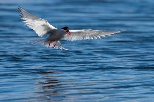 Arctic tern (Sterna paradisaea), in flight while fishingの写真素材 [FYI02341964]