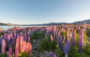 Purple Large-leaved lupines (Lupinus polyphyllus), Lakeの写真素材 [FYI02341966]