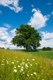 English oak (Quercus robur), solitary tree, Bavariaの写真素材 [FYI02341992]