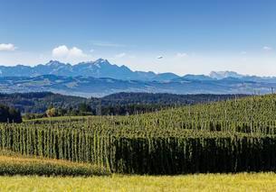 Hop field, Dietmannsdorf Weiler, Tettnang, Mount Altmannの写真素材 [FYI02342009]