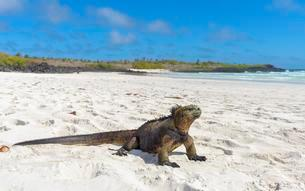 Galapagos marine iguana (Amblyrhynchus cristatus) sittingの写真素材 [FYI02342015]