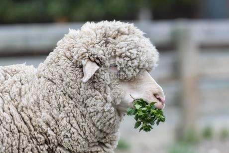 Merino sheep feeding on nettles, Southland, New Zealandの写真素材 [FYI02342024]