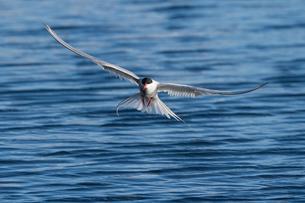 Arctic tern (Sterna paradisaea), in flight while fishingの写真素材 [FYI02342042]