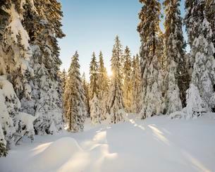 Sun shining through snow covered spruce trees, Feldbergの写真素材 [FYI02342055]