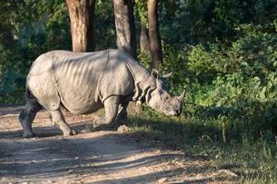 Indian rhinoceros (Rhinoceros unicornis) crossing forestの写真素材 [FYI02342061]