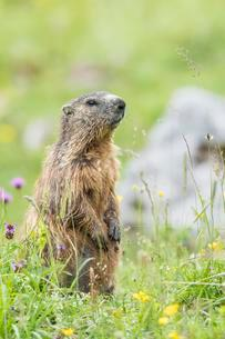 Marmot (Marmota) in a meadow, young animal, Berchtesgadenの写真素材 [FYI02342089]