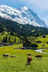 Cows in pasture, Eiger north face behind, Grindelwaldの写真素材 [FYI02342129]
