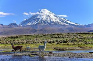 Llamas (lama glama) at river in front of volcano Sajamaの写真素材 [FYI02342143]