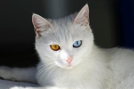 Sicily, Cat with different coloured eyes, Stromboli Islandの写真素材 [FYI02342154]