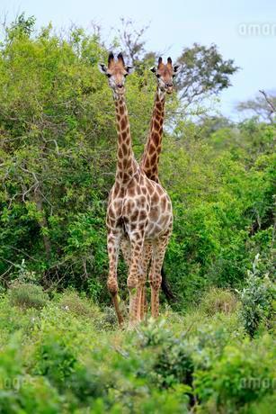 Cape giraffes (Giraffa camelopardalis giraffa), subadultの写真素材 [FYI02342159]