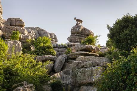 Iberian Alpine Ibex, fawn, Bizarre limestone rockの写真素材 [FYI02342166]
