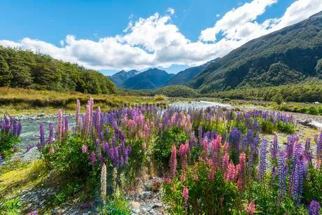 Purple Large-leaved lupines (Lupinus polyphyllus) on aの写真素材 [FYI02342189]