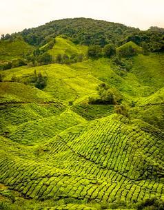 Tea plantations, Cameron Highlands, Tanah Tinggi Cameronの写真素材 [FYI02342195]