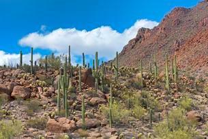 Saguaro Cacti (Carnegiea gigantea), Saguaro National Parkの写真素材 [FYI02342239]