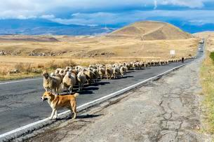 Shephard and Sheepdog conducting a group of sheep down aの写真素材 [FYI02342275]