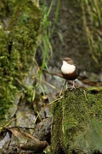White-throated Dipper (Cinclus cinclus), sitting on rocksの写真素材 [FYI02342302]