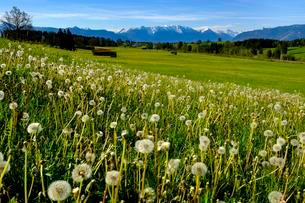 Dandelion meadow, with alpine panorama, Murnauer Moos, nearの写真素材 [FYI02342346]
