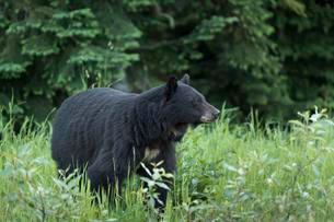 American Black Bear (Ursus americanus), Whistler, Britishの写真素材 [FYI02342368]