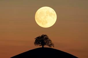 Solitaire tree, Linden tree (Tilia), on moraine hills atの写真素材 [FYI02342376]