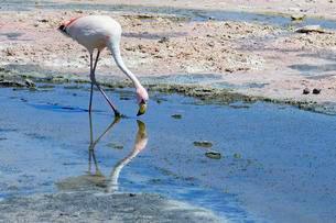 James's flamingo (Phoenicoparrus jamesi) foraging inの写真素材 [FYI02342389]