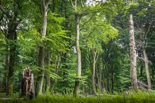 Old Beechesforest (Beeches), Beechesurwald with deadwoodの写真素材 [FYI02342406]