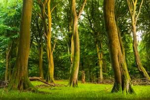 Old beech forest, beech forest with dead wood, Jasmundの写真素材 [FYI02342417]