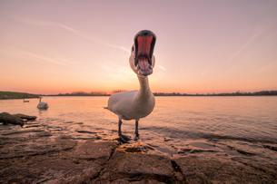 Hissing mute swan (Cygnus olor) by the Rhine, sunsetの写真素材 [FYI02342423]