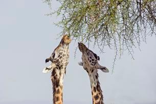 Masai giraffes (Giraffa camelopardalis) feeding on a greatの写真素材 [FYI02342465]
