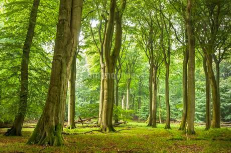 Beech primeval forest with deadwood, Jasmund National Parkの写真素材 [FYI02342485]