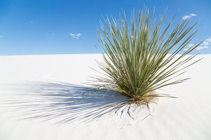 Soaptree (Yucca elata) on white sand dune, White Sandsの写真素材 [FYI02342509]