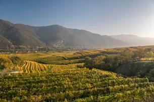Autumnal vineyards near Weissenkirchen in the Wachauの写真素材 [FYI02342530]