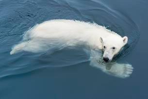 Polar Bear (Ursus maritimus) swimming, Svalbardの写真素材 [FYI02342552]