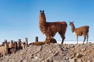 Llamas (Lama glama), herd in barren landscape, Altiplanoの写真素材 [FYI02342580]