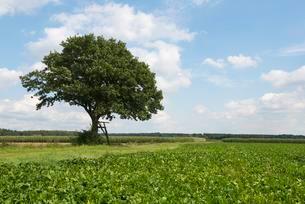 Solitary Pedunculate Oak (Quercus robur), with a ladderの写真素材 [FYI02342582]