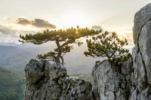 European black pine on rocks in the evening backlightの写真素材 [FYI02342584]