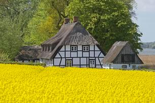 Half-timbered house with thatched roofs next to rape fieldの写真素材 [FYI02342596]