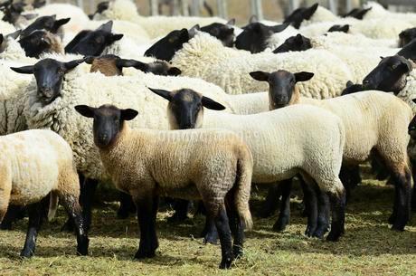 Blackhead sheep, flock of sheep in the pen, Tierra delの写真素材 [FYI02342620]