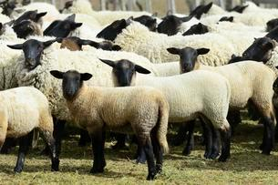 Blackhead sheep, flock of sheep in the pen, Tierra delの写真素材 [FYI02342620]