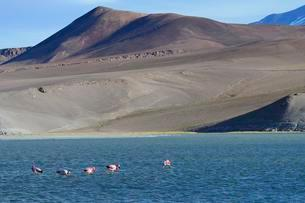 Andean flamingos (Phoenicopterus andinus) on the Lagunaの写真素材 [FYI02342626]