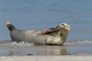 Harbor seal (Phoca vitulina), Heligolandの写真素材 [FYI02342629]
