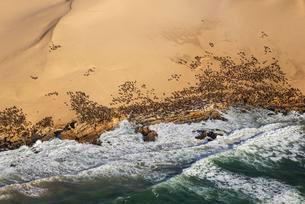 Cape Fur Seal (Arctocephalus pusillus) colony at the coastの写真素材 [FYI02342652]