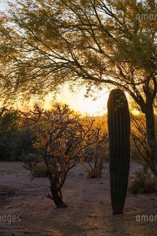 Saguaro cactus (Carnegiea gigantea) and staghorn chollaの写真素材 [FYI02342672]