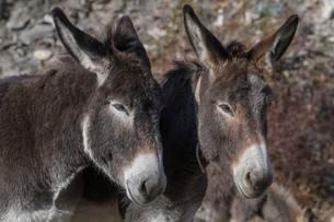Two donkey (Equus asinus asinus), Portrait, Valle Mairaの写真素材 [FYI02342698]
