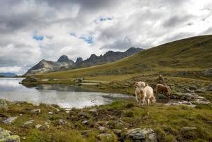 Scottish highland cattle grazing on the Scheidsee, in theの写真素材 [FYI02342728]