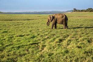 Asian elephant (Elephas maximus), Udawalawe National Parkの写真素材 [FYI02342748]