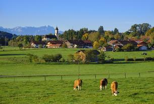 Cows graze in a meadow, Deining near Egling with Zugspitzeの写真素材 [FYI02342752]