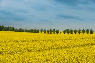 Rape fields with a row of trees, oilseed or canola, Balticの写真素材 [FYI02342763]